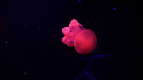 Purple Jellyfish Illuminated With Color Light Underwater. Jelly fish in sea Live Action