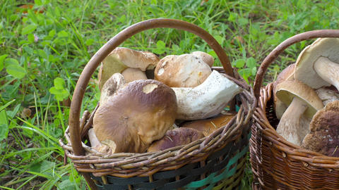 Two full baskets with edible mushrooms Live Action