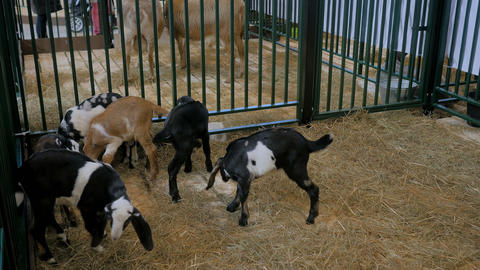 Small funny goatlings playing together at agricultural animal exhibition Live Action