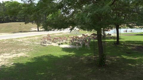 Wild Deer in Park Footage