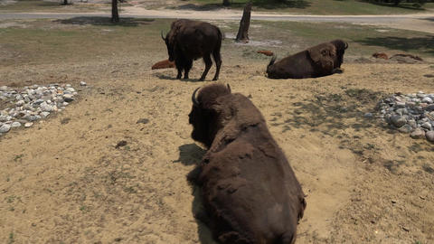 Wild Bison or Buffalo Stock Video Footage