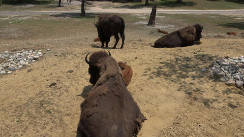 Wild Bison or Buffalo Footage