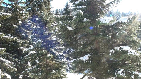 Fir trees with snow Footage
