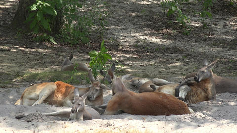 Wild Kangaroos at National Park Footage