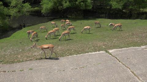 Wild Deer in National Park Footage