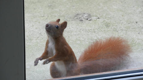 Squirrel Looks Through The Window Footage