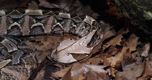 West African Gaboon viper, bitis gabonica rhinoceros, Head of Adult, Slow motion 4K Footage