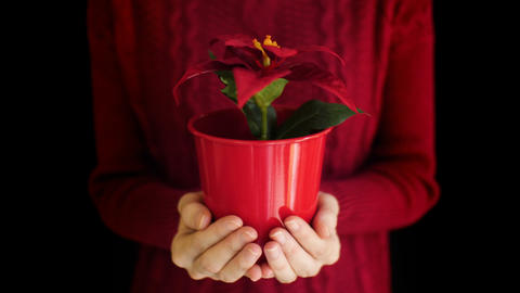 Female holding christmas poinsettia flower in vase on hand with black background Live Action
