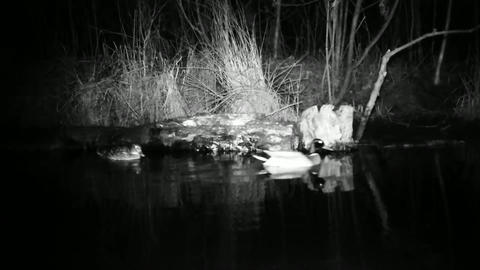 Two Mallard Ducks (Anas Platyrhynchos) close to a log in a swamp in the night Footage