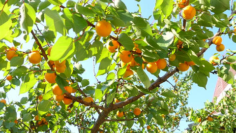 Apricot Tree Branch Footage