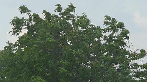 Tree Branches And Leaves In The Wind Footage