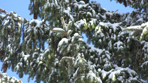 Pine Tree Covered With Snow Footage