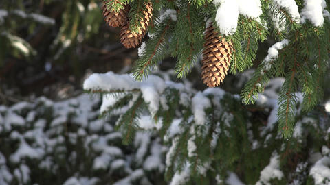 Fir Tree and Pine Cones in Winter Footage