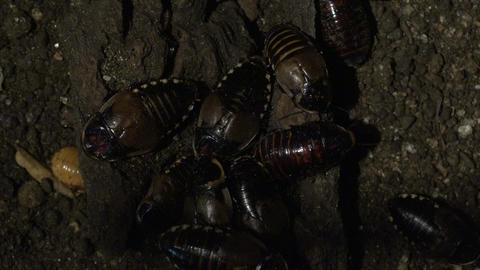Cockroaches or Similar Insects Footage