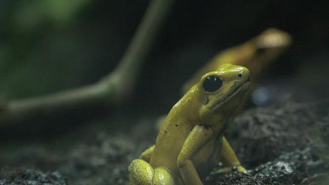 Small Yellow Frog or Toad Footage