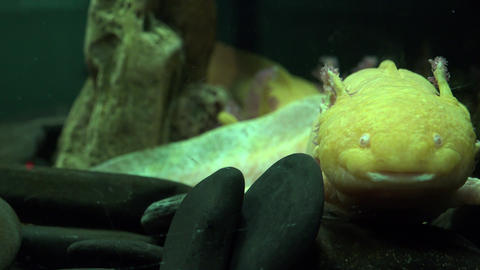 Ugly Fish in Fish tank Footage