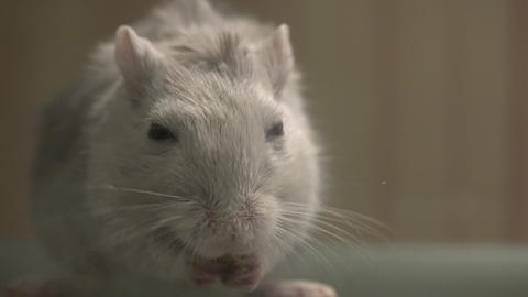 Closeup of White Mouse Stock Video Footage