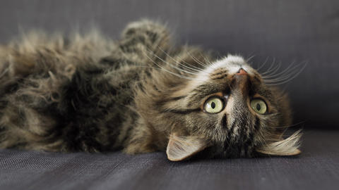 Cute tabby domestic cat lies on its back and watches the object behind the Live Action