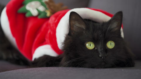 Close up portrait of a black fluffy cat with green eyes dressed as Santa Claus Live Action