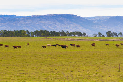 field with cows in the mountains フォト