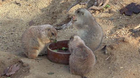 Rodents eating food in a ceramic bowl in a garden Live Action
