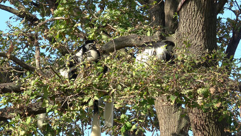Mantled guereza (Colobus guereza) sitting high on the tree Live Action