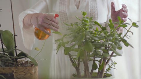Mature female Caucasian hands spraying water on green domestic flowers in pots Live Action