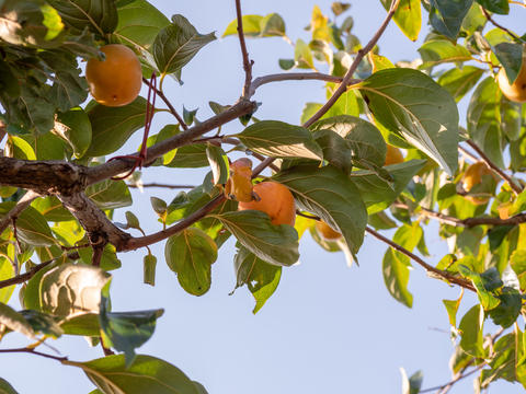 Persimmon tree. Persimmon farm in Japan countryside Photo