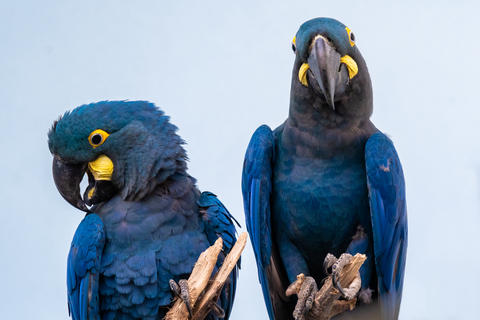 Lear's Macaw (Anodorhynchus lear) is standing on the branch Photo