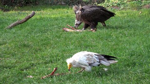 Vultures( Aegypius monachus, Neophron percnopterus) feeding on the ground GIF