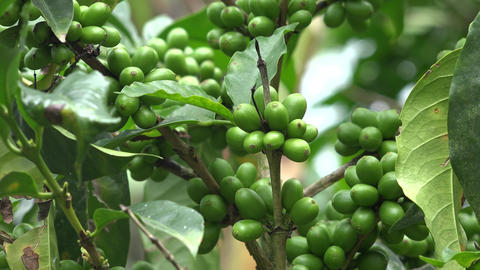 Coffee Beans on Coffee Plant, Live Action