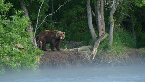 Kamchatka brown bear family Live Action