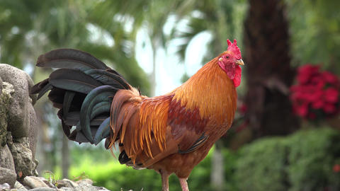 Roosters, Poultry, Chickens, Game Birds, Animals Footage