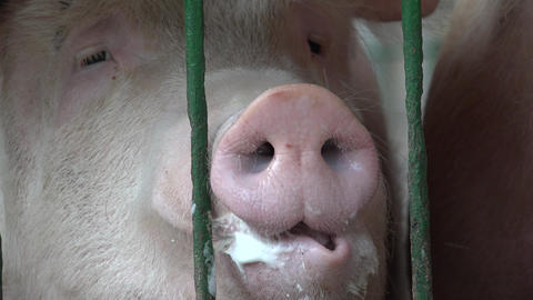 Caged Pigs, Sows, Swine Footage