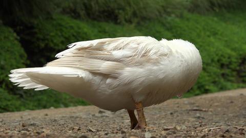 Waterfowl, Birds, Animals, Nature, Wildlife Footage
