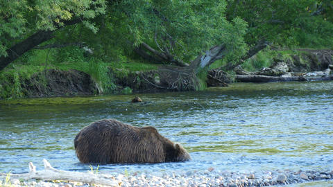 Kamchatka brown bear diving for salmon in a river Live Action