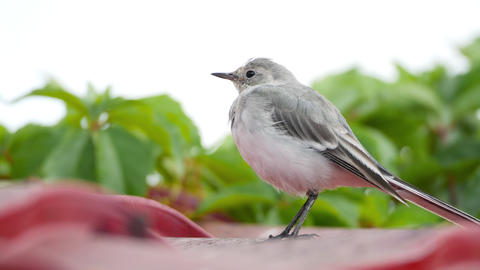 White wagtail (Motacilla alba) chick on a roof GIF