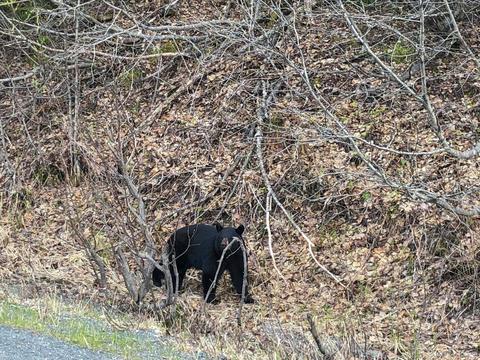 Black bear フォト