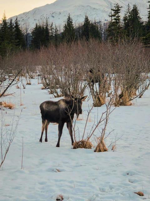 Winter moose フォト