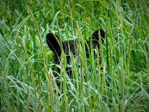 Black bear hiding フォト