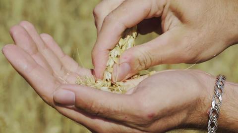 Farmer hands hold wheat grains GIF
