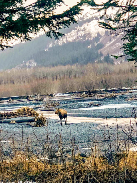 Lonely moose Photo
