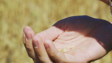 Man hands pouring ripe grains of wheat GIF
