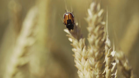 The beetle sits on spikelet of yellow ripe wheat GIF