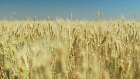 Golden ears of wheat on the field. Background of ripening ears of meadow wheat GIF