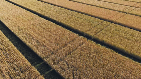 Aerial view of golden wheat field. Aerial video GIF
