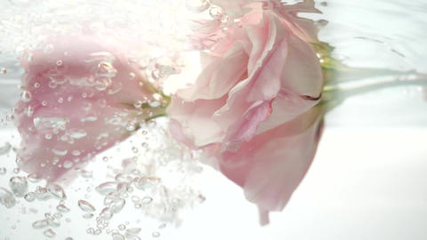 Flower in water. Pair of wonderful pink roses are in clear water. Water flows in Live Action