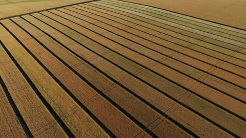 Aerial view of golden wheat field. Aerial video ビデオ