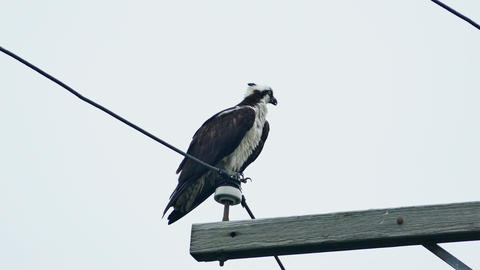 Osprey is sitting on an electrical wire and looking around ビデオ