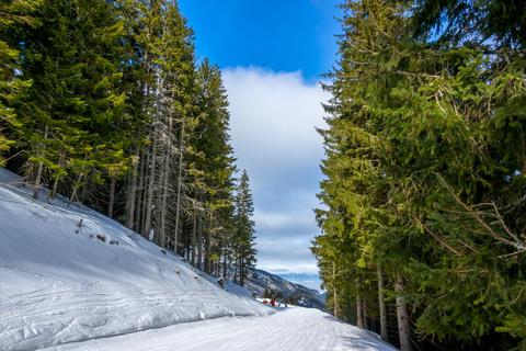 Ski Trail between Tall Spruce Trees フォト